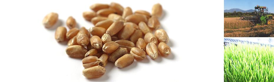 スプラウト用秋まき小麦の種